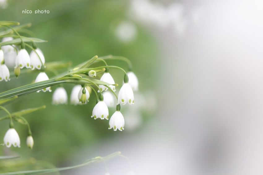 EyeEmBestPics EyeEm Best Shots Flower Porn Flowers, Nature And Beauty Flower Collection Bokeh Photography Bokeh 前ボケ スノーフレーク Plant Flower Flowering Plant Beauty In Nature Freshness Vulnerability  Fragility Close-up White Color Green Color Nature Flower Head