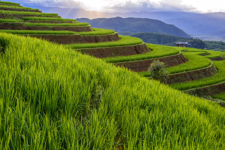 Chiang Mai Chiang Mai | Thailand Chiangmai Agriculture Beauty In Nature Crop  Day Environment Farm Field Green Color Growth Land Landscape Mountain Nature No People Outdoors Plant Plantation Rice Paddy Rural Scene Scenics - Nature Tranquil Scene Tranquility