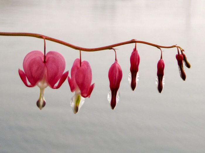 Broken Hearts Flower hanging above quiet water background. Bloem Botany Broken Heart, Corazón Flor Flower Gebroken Hart Pink Color