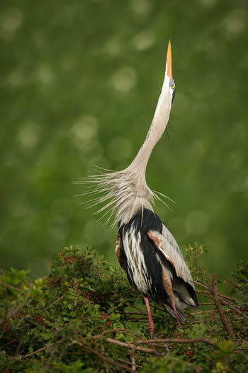 Great Blue Heron On Nest At Tree