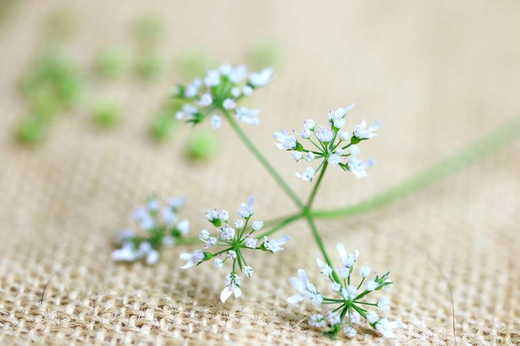 Coriander flowers on sack cloth Sack Pattern Vegetable Flower Flower Plants EyeEm Selects Flower Fragility Nature Growth Plant Beauty In Nature Blooming Outdoors Freshness No People Day Selective Focus Close-up Flower Head