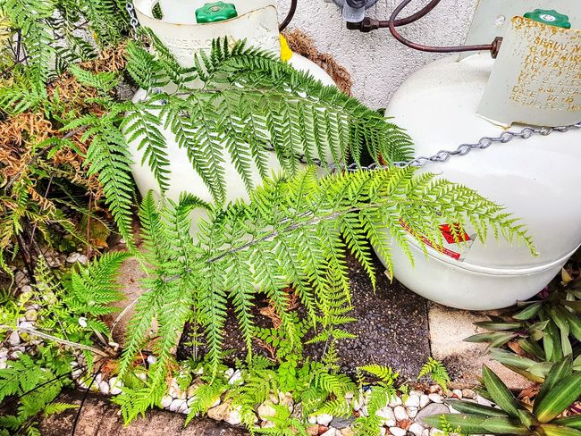 Ferns gas bottles outdoors no people day high angle view lifestyles Architecture Plants growth Gas Bottles Outdoors No People Day High Angle View Lifestyles Architecture Plants Garden Photography Built Structure The Week On EyeEm Close-up Nature Green Color Growth Plant Leaf