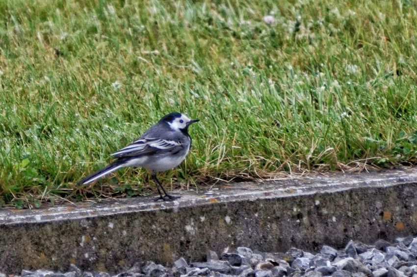 Bergeronnette grise ~ White- Wagtail White Wagtail Bergeronnette Printanière Bird Animal Themes Animals In The Wild One Animal Animal Wildlife Day Perching Grass No People Outdoors High Angle View Nature Close-up From My Point Of View Eye4photography  Capture The Moment Check This Out Nature On Your Doorstep EyeEm Nature Lover The Great Outdoors - 2017 EyeEm Awards Nature