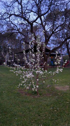 Tree Flower Branch Park - Man Made Space Springtime Grass Sky Green Color