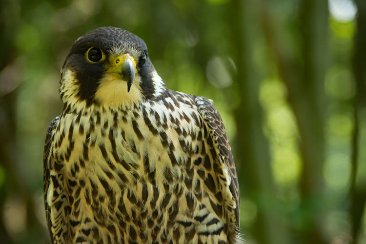 Animal Animal Eye Animal Head  Animal Themes Animal Wildlife Animals In The Wild Beauty In Nature Bird Bird Of Prey Close-up Day Falcon - Bird Focus On Foreground Land Looking Looking Away Nature No People One Animal Outdoors Plant Tree Vertebrate Yellow Eyes