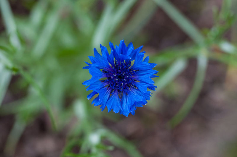 Kornblume Beauty In Nature Blooming Blue Close-up Cornflower Day Flower Flower Head Fragility Freshness Growth Kornblume Macro Macro Photography Nature No People Outdoors Petal Plant Spring View From Above