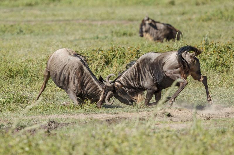 Wildebeests on field