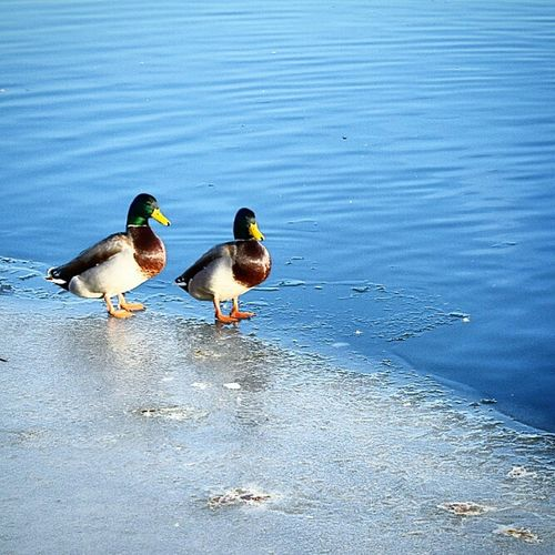 Nice in the sun today! Naturelovers Nature_collection Birds Water Sunshine EyeEm Nature Lover Ducks Winter Ice Spring