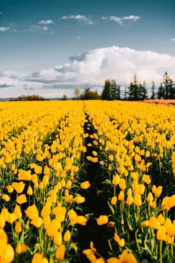 Spring fields. Spring Tulips Plant Flower Yellow Beauty In Nature Flowering Plant Landscape Growth Scenics - Nature Rural Scene Field Sky Land Tranquility Freshness Cloud - Sky Agriculture Environment Nature Vulnerability  Fragility