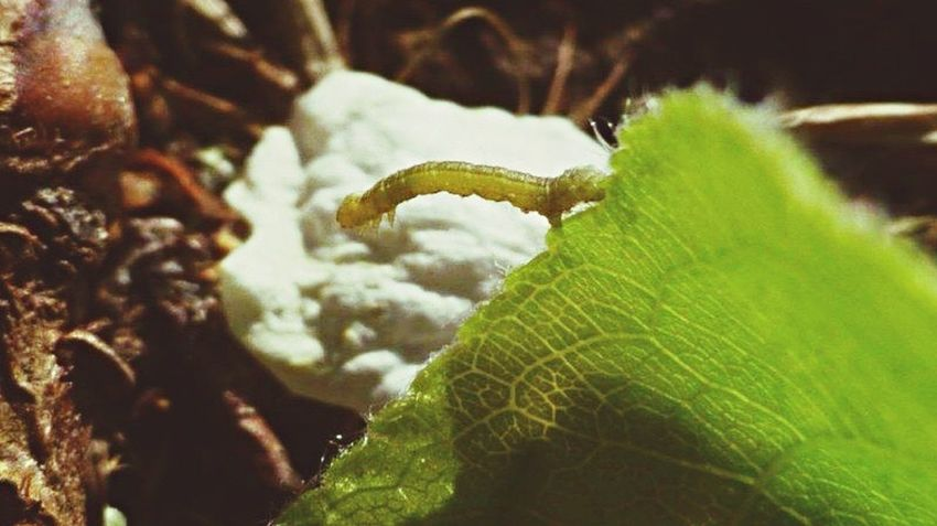 Itty bitty Inchworm Nature EyeEm Nature Lover Nature_collection Check This Out Macro Macro_collection Macroclique Macro Photography