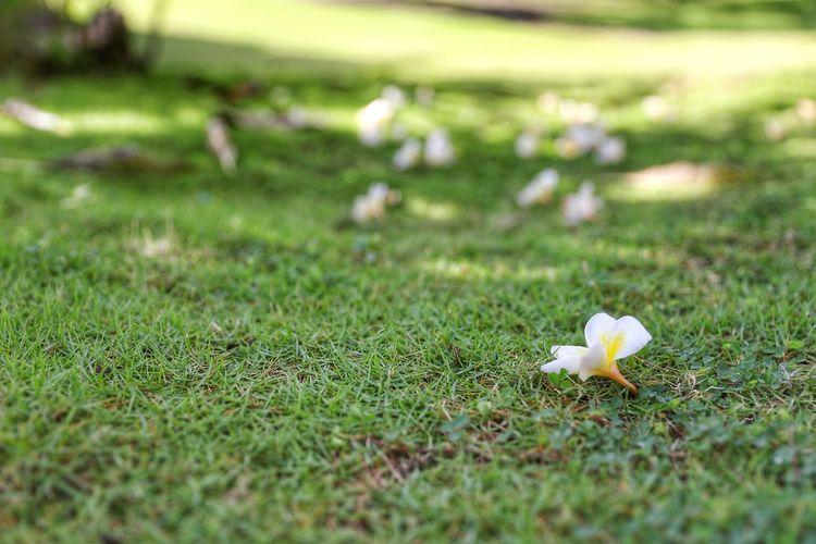푸르름 맑음 촉촉함 아침 . . #하루한컷 #플루메리아 #아침 #낙화 #보홀 #에스카야리조트 #5DMARK4 #신계륵 #EF2470F28LIIUSM Toadstool Flower Fungus Flower Head Mushroom Close-up Grass Animal Themes Green Color