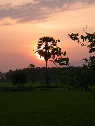 Sun rise in the morning with rice field and tree Beauty In Nature Cloud Cloud - Sky Cornfield Emotion Farm Grass Landscape Morning Morning Light Morning Sky Nature No People Outdoors Rice Rice Field Scenics Sky Sugar Palm Sugar Palm Tree Summer Sunrise Sunset Tree