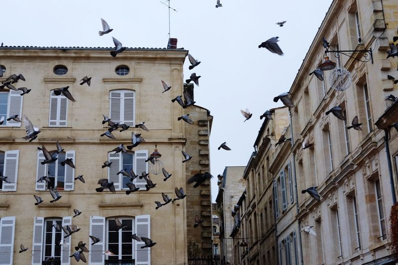 Low Angle View Bird Architecture No People Building Exterior Animal Themes Flock Of Birds Animals In The Wild Outdoors Day Flying Low Sky