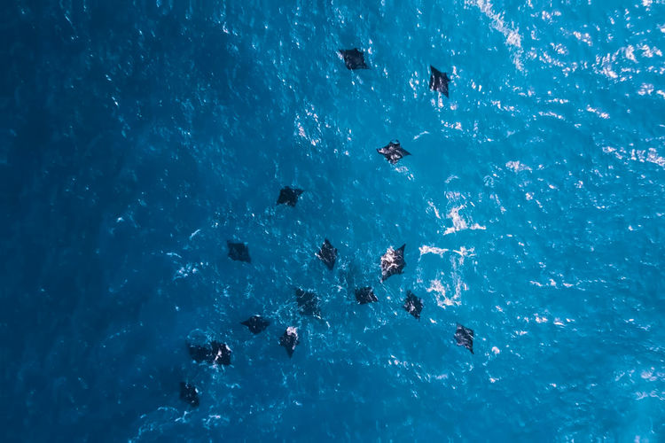 Aerial view of stingrays swimming in sea