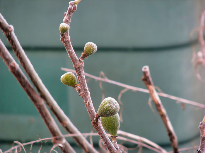 Close-up of figs growing on branch