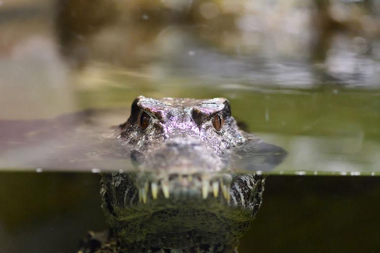 Close-up portrait of crocodile swimming in lake