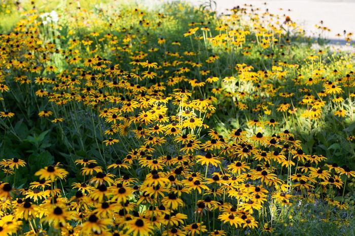 Abundance Black Eyed Susans Field Flower Flower Head Flowerbed Petal Yellow
