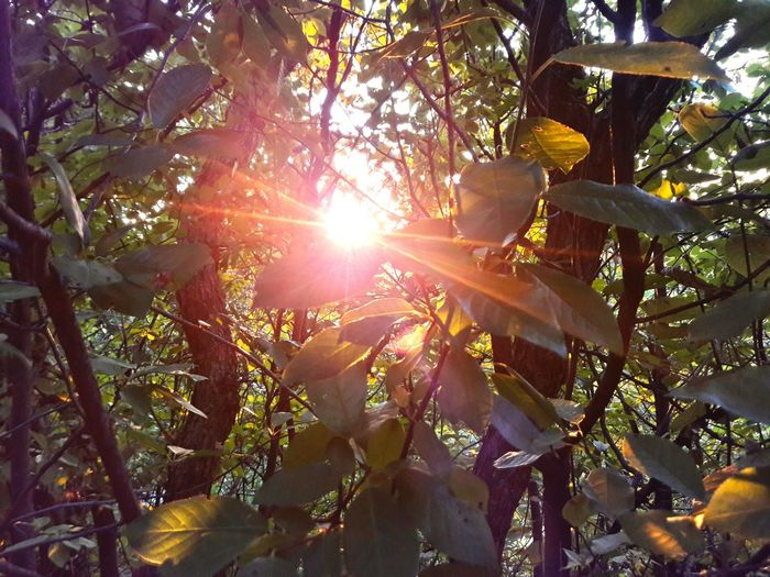 Tree Sunbeam Lens Flare Nature Sun Forest Sunlight No People Outdoors Growth Beauty In Nature Day Tree Area Sky Freshness Beauty In Nature Rural Scene Close-up Plant Growth Backgrounds Blaze Heat - Temperature Freshness Scenics