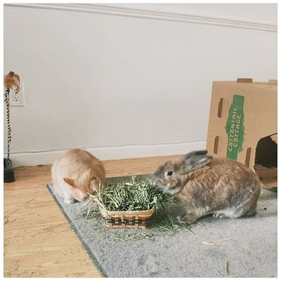 Waffles & Hopkins share dinner. (He thinks he's a bunny.) Lordwaffleshire Catlady Catsofig Houserabbit bunstagram bunnymama