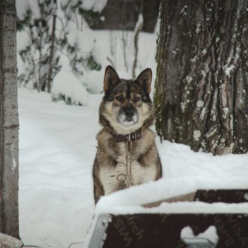 Forest Dog Wolf Snow Winter Russia Taiga