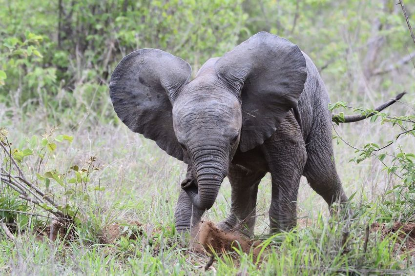 Baby Big5 Kruger Park So Cute South Africa Wildlife & Nature Wildlife Photography African Elephant Animal Animal Themes Animal Trunk Animal Wildlife Animals In The Wild Baby Elephants Playjng Beauty In Nature Day Elephant Field Grass Herbivorous Nature Safari Safari Animals Wild Wildlife