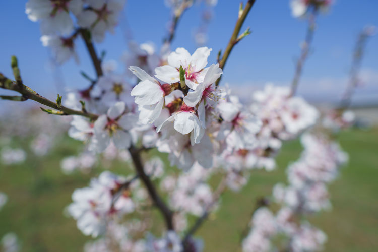 Flowering Plant Flower Plant Fragility Vulnerability  Freshness Beauty In Nature Growth Tree Blossom Branch Springtime White Color Cherry Blossom Nature Petal Close-up Fruit Tree Day Inflorescence Flower Head No People Pollen Cherry Tree Outdoors