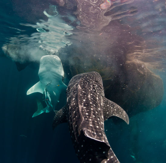 Whale shark in sea