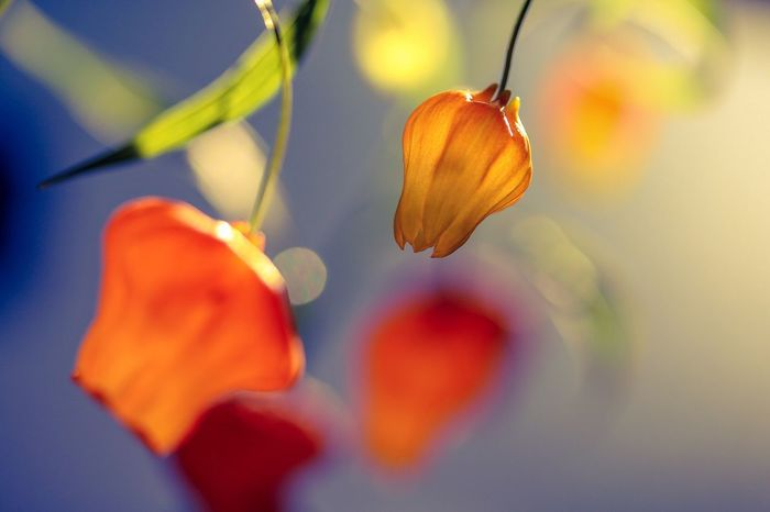 The sunset makes me more orange Orange Color Flowers Beauty In Nature Macro Flowerlovers Close-up Plant Getting Inspired From My Point Of View EyeEm Gallery Still Life Sunset_collection Sunset Colors