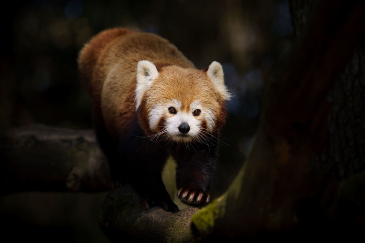 Portrait of red panda in zoo