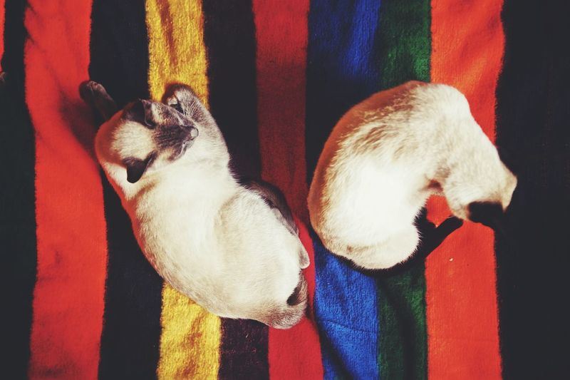 High angle view of siamese cats on resting bed