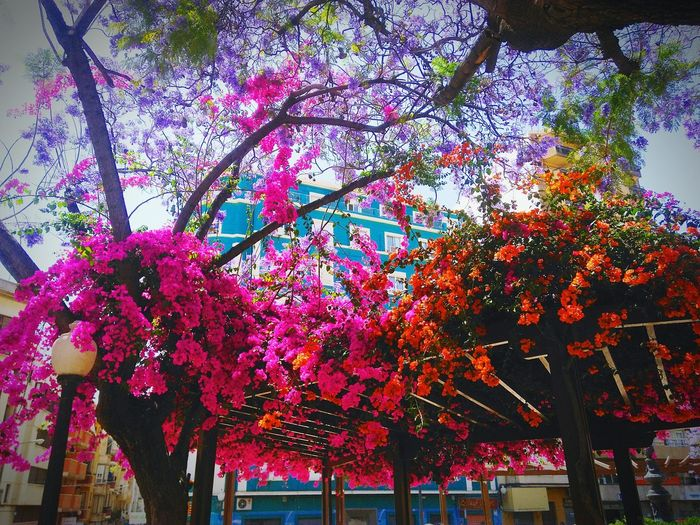 Bugenvillea Flowers Flores España🇪🇸 бугенвиллия цветы краскилета Sky Architecture Nature Beauty In Nature Day Tree No People Low Angle View Growth Branch Outdoors Flower