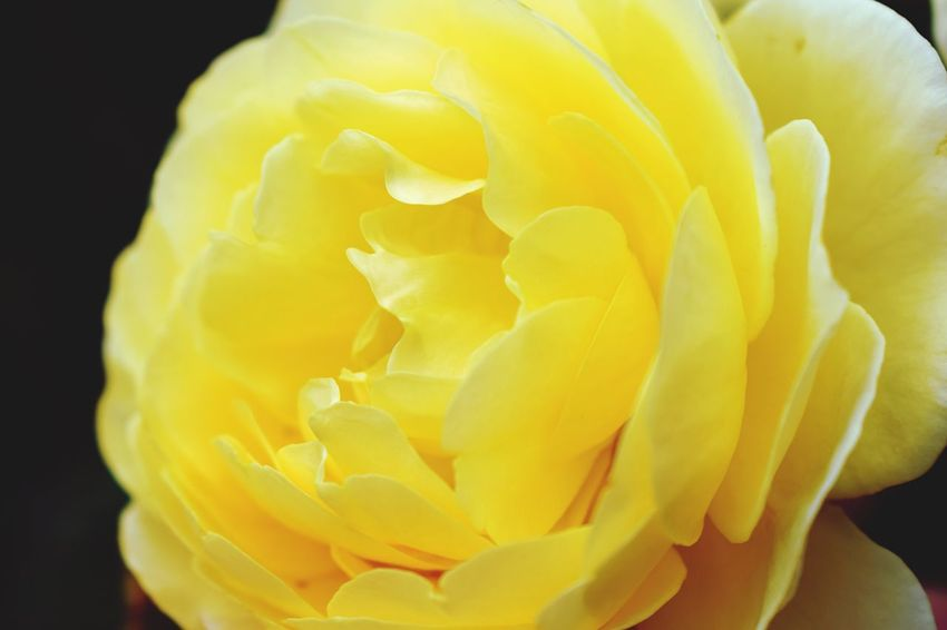 Rose - Flower Yellow Flower Petal Nature Macro Close-up Beauty In Nature Single Rose Softness Plant In Bloom