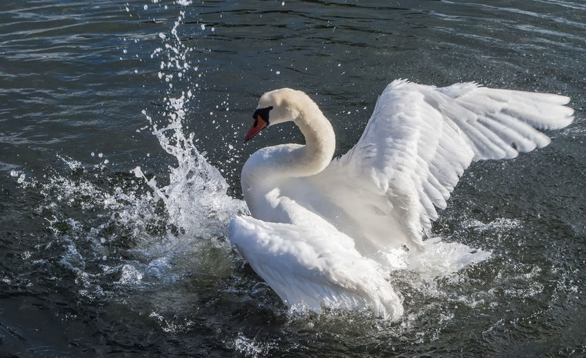 Swan. Swimming Animals In The Wild High Angle View Bird Animal Themes One Animal Swan Animal Wildlife Water Bird Nature Outdoors Horizontal Water No People Day England, UK Birds_collection Canoe Lake Portsmouth Southsea England Hampshire  Nature Beauty In Nature Non-urban Scene