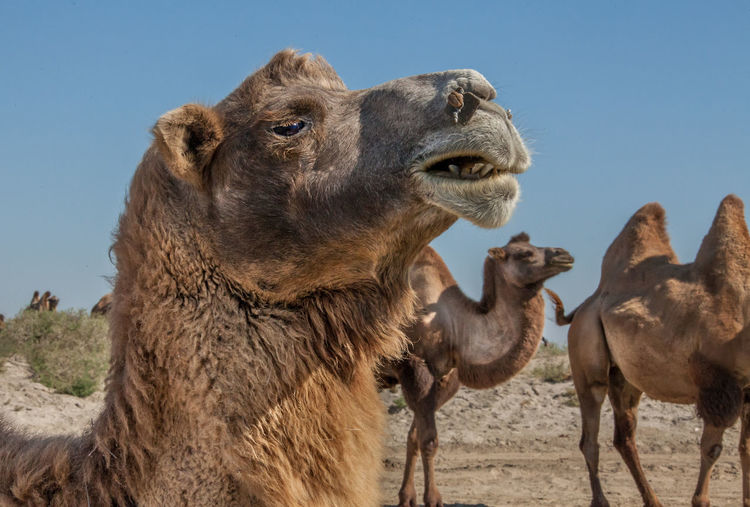 Bactrian camels standing on field against clear sky