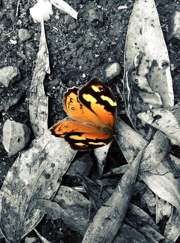 Project 365 Butterfly Colour Splash Camera+ IPad Edit Filterstorm Neue