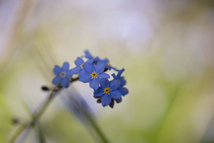 Close-up of a stem of forget-me-not flowers with background blur Background Blur Bloom Blue Blue Flower Close-up Close-up Shot Flower Forget-me-not Plant Selective Focus