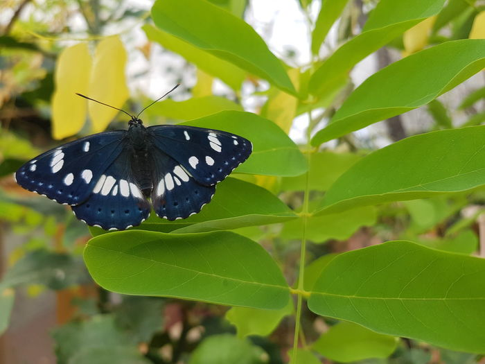 dark blue butterfly Perching Full Length Leaf Butterfly - Insect Insect Pollination Flower Butterfly Animal Wing Close-up Leaf Vein Leaves