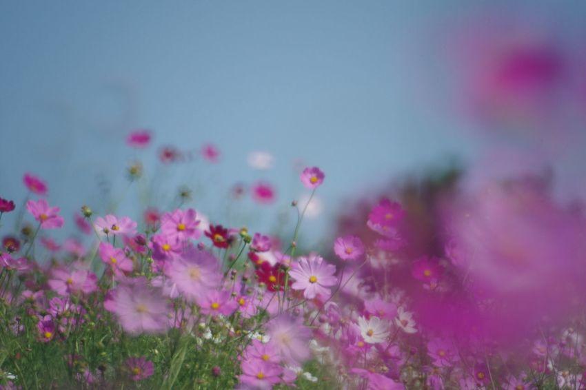 Flower Plant Pentax K-3 国営昭和記念公園 コスモス畑 秋桜