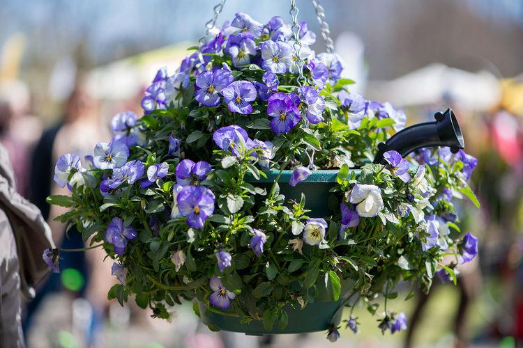 Close-up of purple pansies blooming in hanging basket