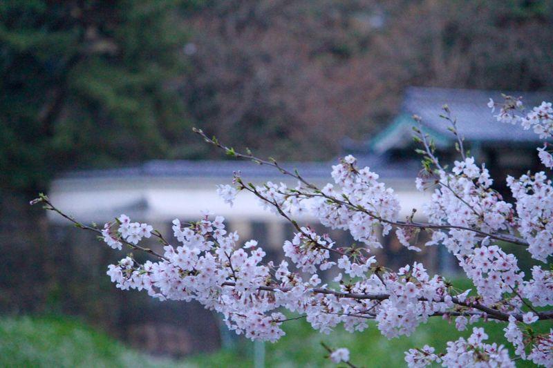 Cherry Blossoms 桜 Sakura お花見 千鳥ヶ淵 Chidorigafuchi EyeEm Nature Lover