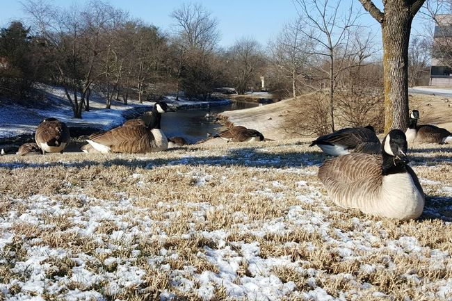 Animal Themes Outdoors Day Snow Sky Beauty In Nature Close-up Winter Urban Nature Park Urban Wildlife Bare Trees Stream Creek Beargrass Creek Flock Of Geese Geese Kentucky  Bird Light Snow Landscape Cold Temperature