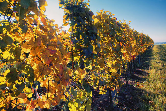 Autumn Autumn Colors Blue Sky Close-up Diagonal Growth Light In Background Low Angle View Nature No People Outdoors Perspective Rural Scene Sky Summer Sunny Day Vineyard