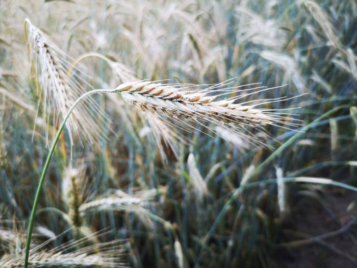 Wheat Cereal Plant Rural Scene Rye - Grain Agriculture Field Uncultivated Crop  Ear Of Wheat Close-up Timothy Grass Closing Farmland Cultivated Land Farm