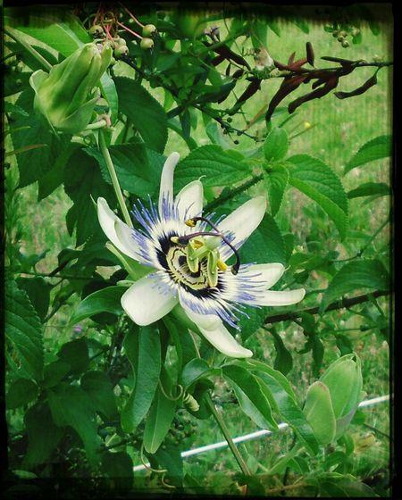 Passionfruit flower Flower Porn Taking Photos Walking Around