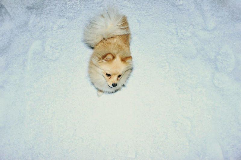 Shpitz Dog Mydog Myfriend Snow Ice Age Smalldog Creamdog Creamshpitz
