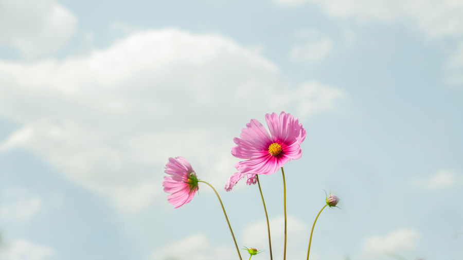 Beauty In Nature Close-up Cloud - Sky Cosmos Flower Day Flower Flower Head Fragility Freshness Growth Low Angle View Nature No People Outdoors Pink Color Plant Sky Springtime