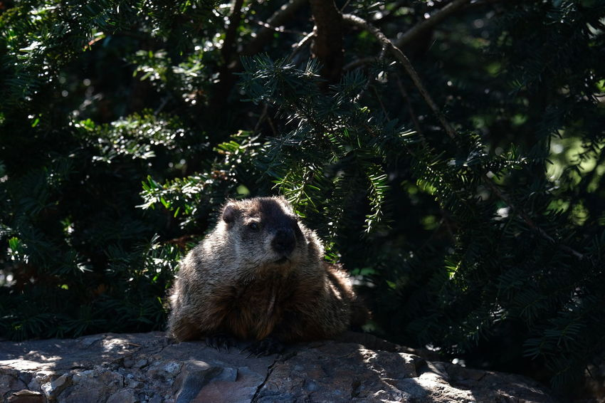 Tree Raccoon Forest Chipmunk Pinaceae Squirrel Rodent Baboon Guinea Pig Spruce Tree Fir Tree Pine Tree Pine Woodland