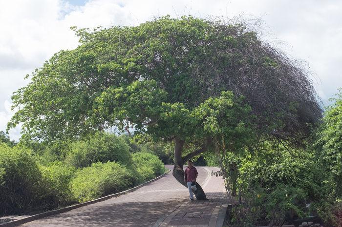 Branch Galapagos Giftig Hippomane Mancinella manchineel Manzanilla De La Muerte Manzanilla Tree Nature No People Toxic Tree Puerto Ayora Santa Cruz Galapagos Äpfelchen Des Todes