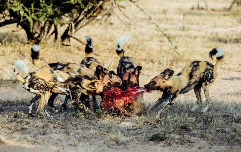 View of hyenas in field