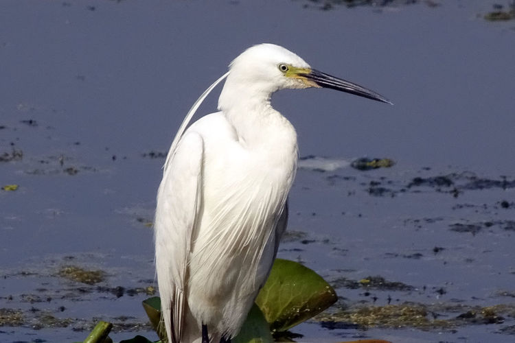 Birds of The Valley Animal Themes Animal Wildlife Animals In The Wild Beak Beauty In Nature Bird Close-up Day Egret EyeEmNewHere Gray Heron Great Egret Heron Nature No People One Animal Outdoors Rakeshtiwari Water
